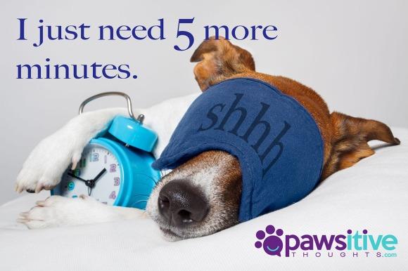 13169067 - dog with alarm clock and sleeping